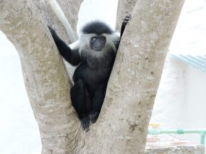 colobus visiting the gardens
